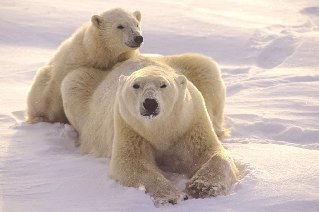 Arctic Polar Bear with Cub